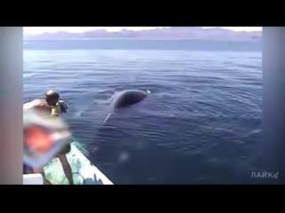 Как плачет кит когда попадает в сети Добрые люди спасаюи огромного кита