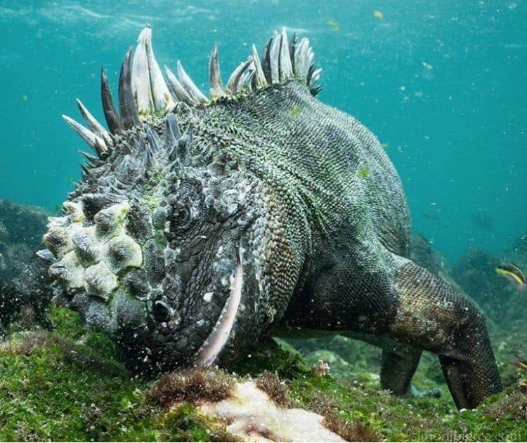 Морские игуаны - блэк-металлисты!