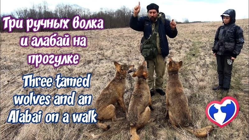 Три ручных волка и алабай на прогулке