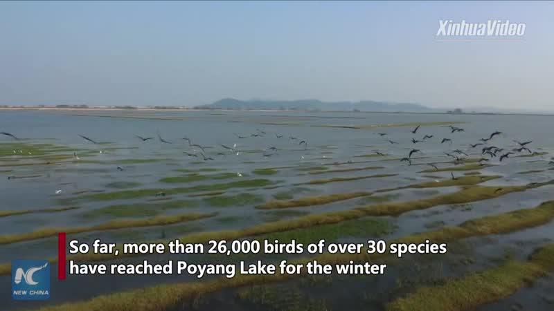 Перелетные птицы прибыли на Поянху