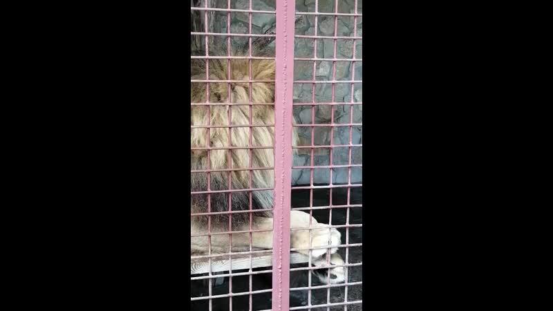 безумно красивый лев Ряжск