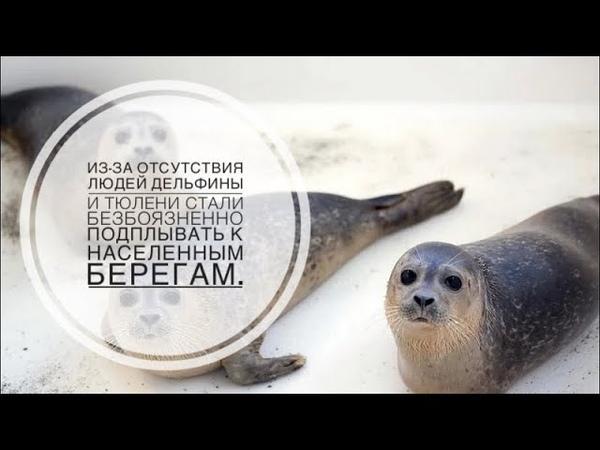 Из за отсутствия людей дельфины и тюлени стали безбоязненно подплывать к населенным берегам