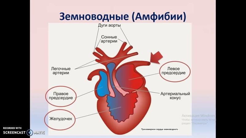 Филогенез кровеносной системы хордовых