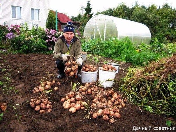 Картофель: как с 20-ти кустов собрать 40 вёдер