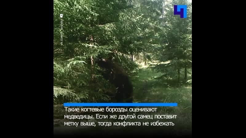 В Нижне Свирском заповеднике запечатлели медвежий задир