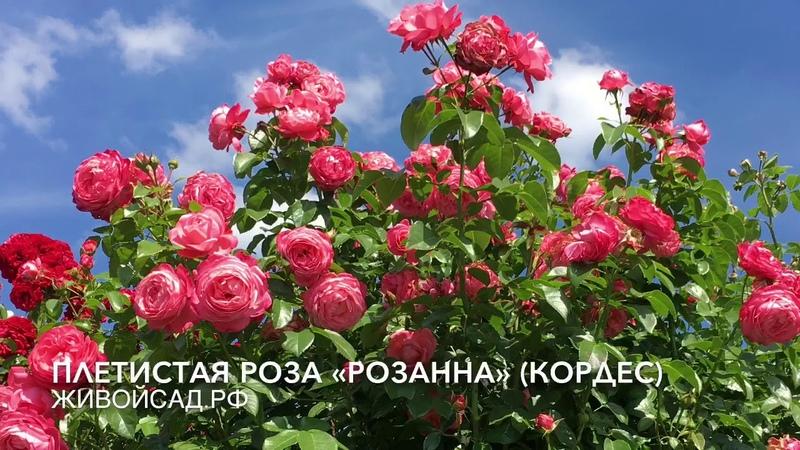 Плетистая роза Розанна Кордес