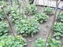 Выращивание огурцов подвесным способом