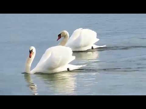 Лебеди Чудо --Танцуют Вальс !! 2632 HD