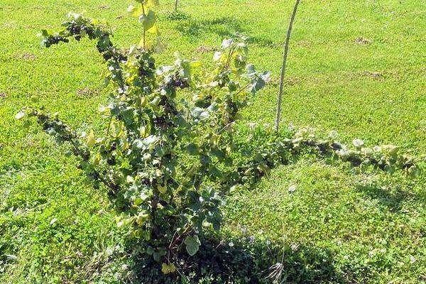 Что такое Йошта Ягода, которой в природе не существует... Йошта редко встречается в наших садах, она больше распространена у западных садоводов. Это растение особенное, потому что в природе его