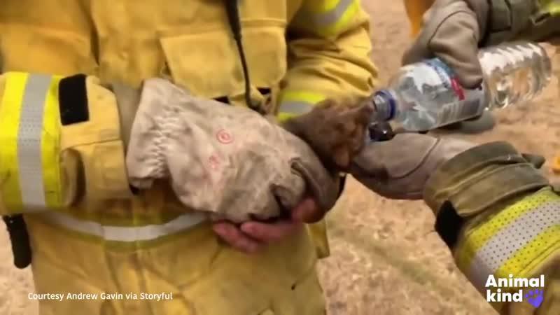 Спасение животных в Австралии от лесных пожаров Rescuers race to save animals