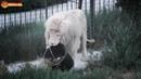 Разговор мальчишки с Человеком львом Уборка в саванне со львами Тайган Life of lions Taigan