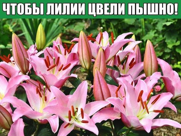 Чтобы лилии цвели пышно!