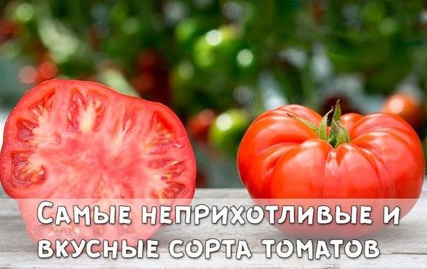 Самые неприхотливые и вкусные сорта томатов