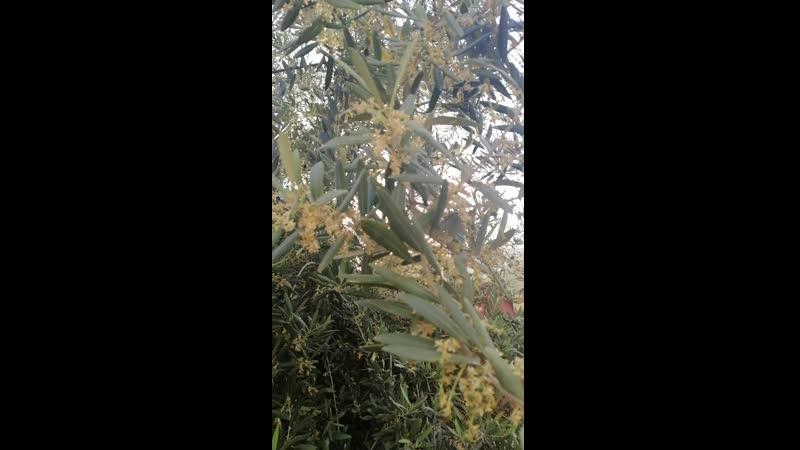 цветение оливы mp4