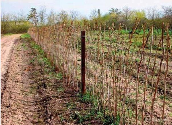 Как сажать малину осенью Малина садовое растение, которое можно пересаживать в любой период вегетативного роста, но предпочтительнее это делать ранней осенью, когда ещё много света, тепла и