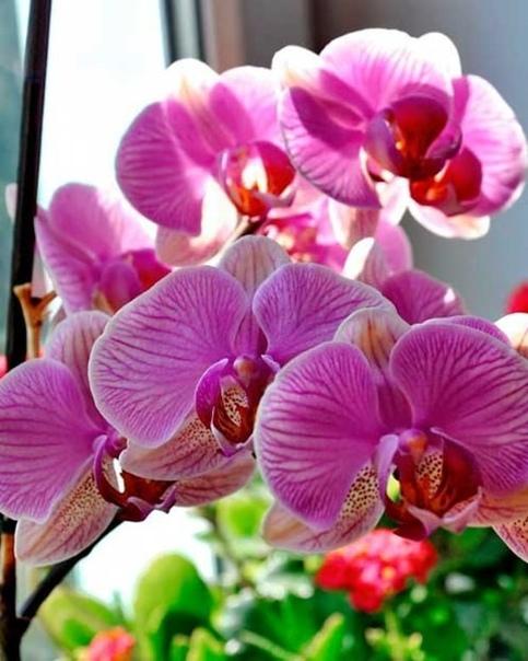 ВСЕ СЕКРЕТНЫЕ ЗНАНИЯ ОБ ОРХИДЕЯХ Орхидея это любимый цветок многих цветоводов. Он считается очень требовательным. Однако многие орхидеи хорошо растут в доме и без особого ухода. Если ты хочешь,
