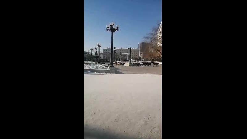 Свора собак в центре города