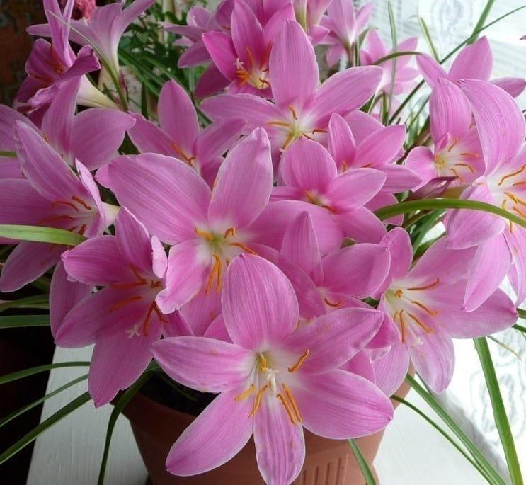 Как растет цветок розового зефирантеса по фото