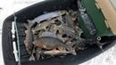 Надёргал онежских окуней. Рыбалка в Карелии