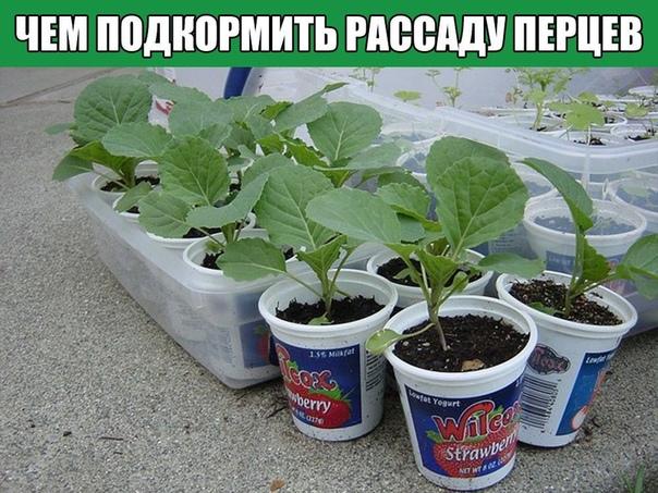 Чем подкормить рассаду перцев