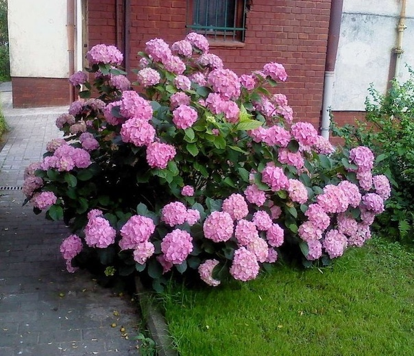 Красивоцветущий кустарник  настоящее украшение сада