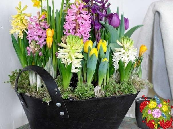 Посадка тюльпанов, нарциссов, гиацинтов