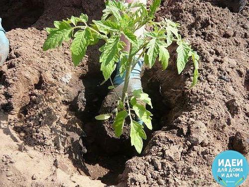ЧТО НЕОБХОДИМО КЛАСТЬ В ЛУНКУ ПРИ ПОСАДКЕ ПОМИДОР. Томаты являются любимым овощем многих людей. Но для получения сочных и румяных плодов следует серьезно потрудиться, ведь помидор является