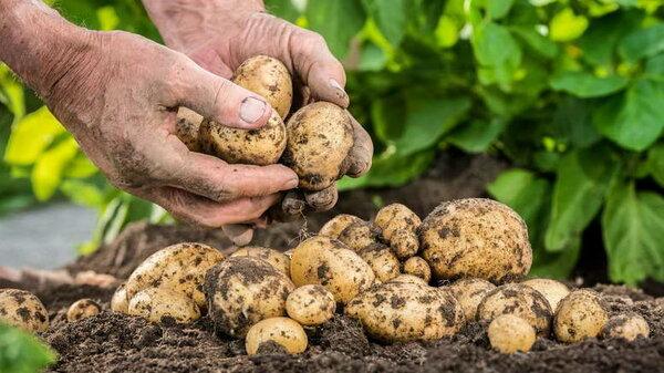 Чем подкормить картофель для богатого урожая