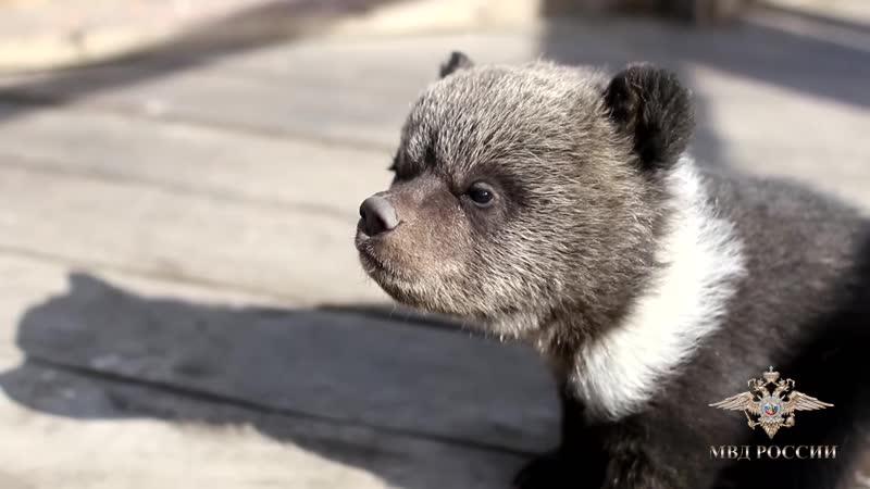 В Улан Удэ полицейские изъяли у местного жителя медвежат