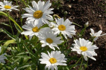 Самые популярные и неприхотливые растения Представляем вам несколько очаровательных и неприхотливых садовых растений.Как-то у меня спросили, какие садовые цветы самые популярные. Вы знаете, я не