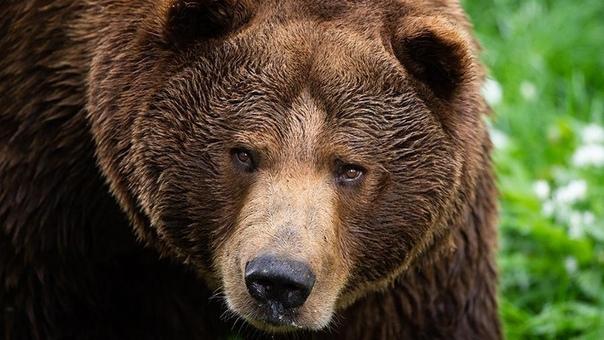 Медведь украл покойника с российского кладбища В Комсомольске-на-Амуре медведь раскопал могилу и утащил покойника в лес. Об этом пишут местные СМИ.Ночью хищник забрался на городское кладбище в