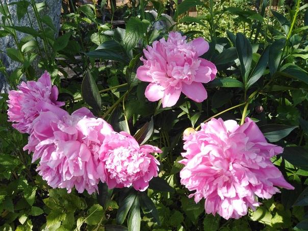 Сколько аромата в этих цветах! Но дарят они его очень не долго!!! Расцвет в саду любимый мой пион...Наплнил воздух нежным ароматом...Таким родным, знакомым и приятным,Что о былом опять напомнил