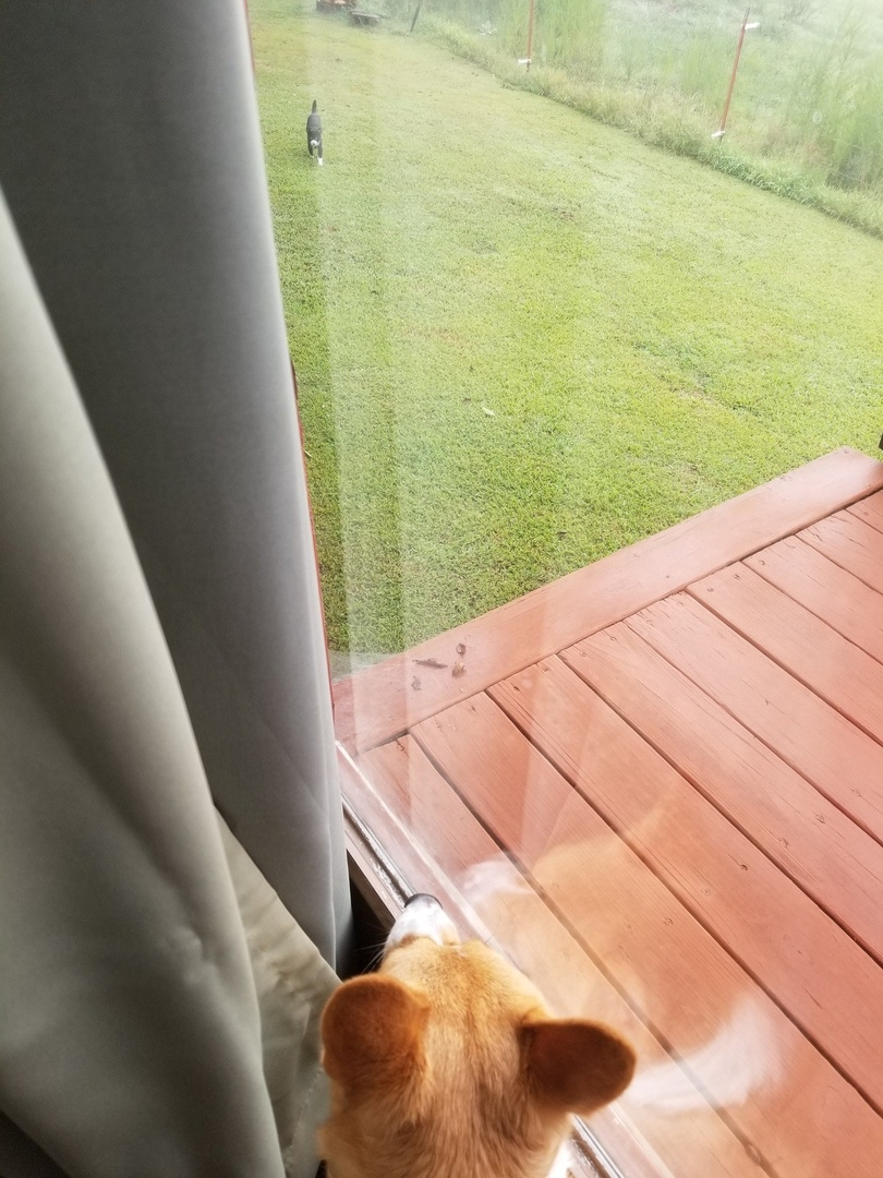 История любви нашего корги и соседского кота.