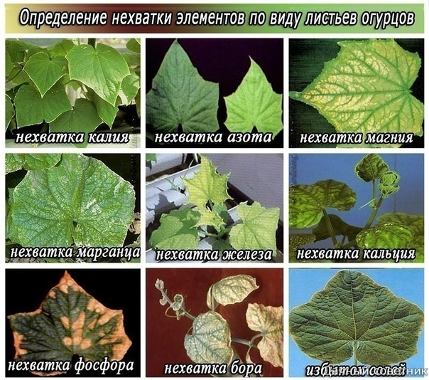 Симптомы нехватки микроэлементов у огурцов Симптомы нехватки каждого из необходимых питательных веществ у огурцов проявляются очень четко и весьма определенно.МагнийПри недостатке магния листья