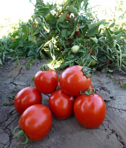Какие именно семена томатов считаются самыми урожайными и почему В большинстве своем, садоводы клюют на яркую и красочную упаковку, где изображены крупные и спелые томаты. Они обычно полагают,