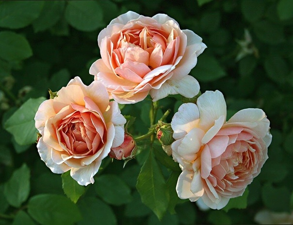 Супер средство для защиты роз