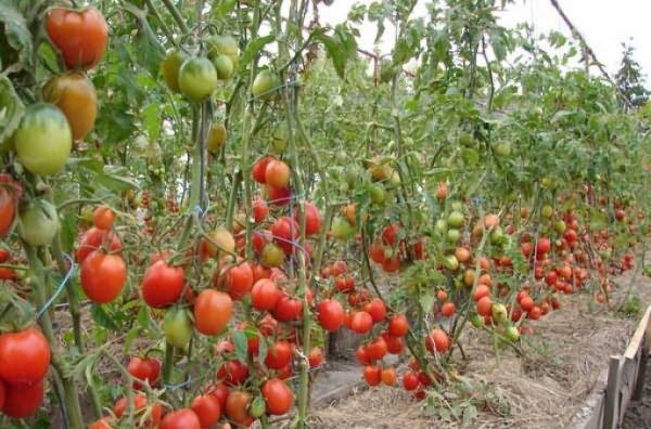 Нашла замену навозу - натуральное удобрение AGROPLANT - и мои овощи растут, как сумасшедшие