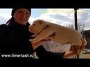 Помет - Э сезона 2019 в питомнике Тимерташ  свободные щенки  Еще больше информации на сайте time