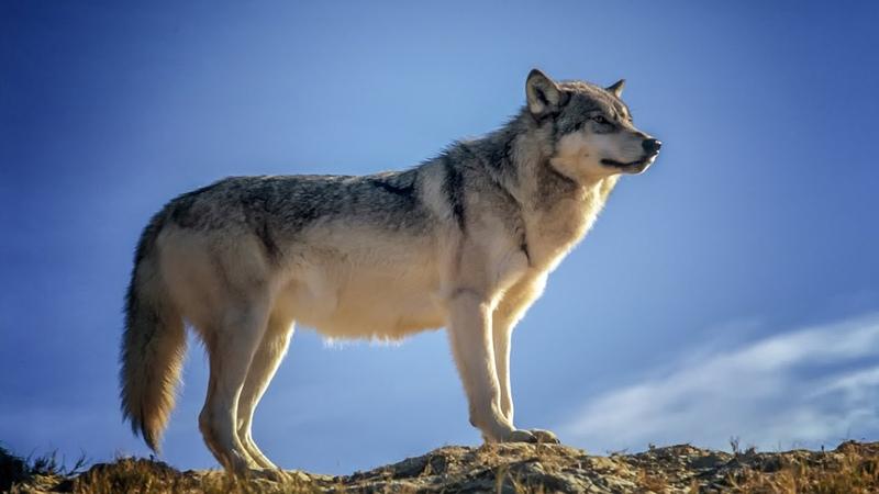 От Волчонка к Волку Этапы взросления Film Studio Aves