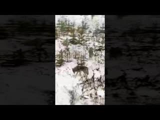 Новости соседей: В Югре (ХМАО) на дороге заметили стаю волков