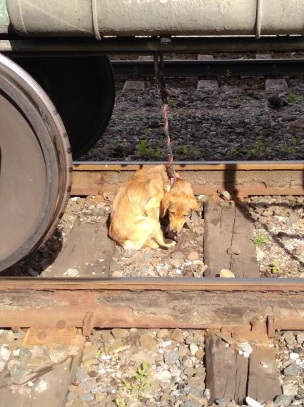 Неизвестные отбросы привязали несчастную собаку к поезду На днях около 9 утра на станции города Советска работники железной дороги обнаружили привязанную к вагону собаку. Даже не хочется