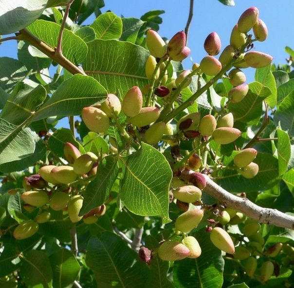 Как растут фисташки В пищу фисташковые орехи используют уже более 2,5 тысяч лет. Фисташками называют как плоды в виде зеленоватых орешков, употребляемые в пищу, так и деревья, дающие эти плоды.