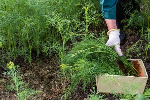7 хитростей выращивания укропа для длительного употребления зелени Укроп настолько распространенная на наших огородах культура, что, кажется, все о нем всё знают. Он прекрасно распространяется