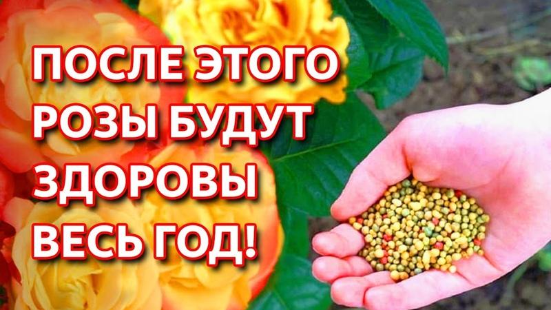 Сделайте это в августе для здоровья роз После этих мероприятий розы будут здоровы весь год
