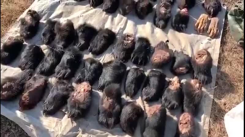Браконьеры пытались вывезти из Приморья в Китай почти 50 лап гималайских медведей и амурских тигров
