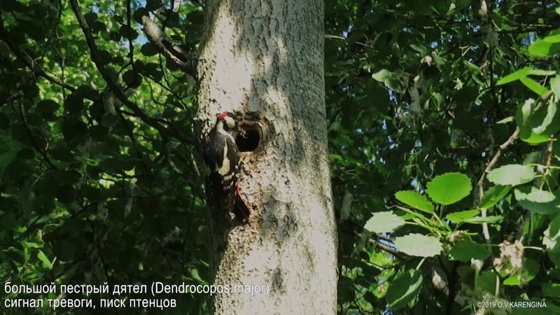 Большой пёстрый дятел Dendrocopos major Great spotted woodpecker
