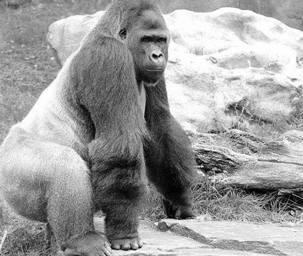 Смерть лидера. В Уганде арестовали четырёх браконьеров, обвиняемых в убийстве горной гориллы по кличке Рафики вожака стаи и любимца туристов. Смотрители национального парка Бвинди потеряли из