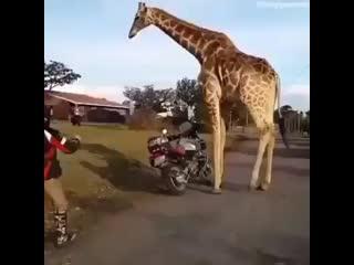 Нападение злого жирафа)