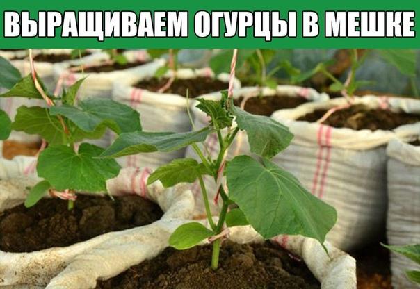 Выращиваем огурцы в мешке