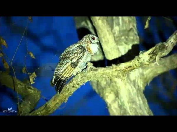 Mottled Wood Owl (Strix ocellata) - Calling